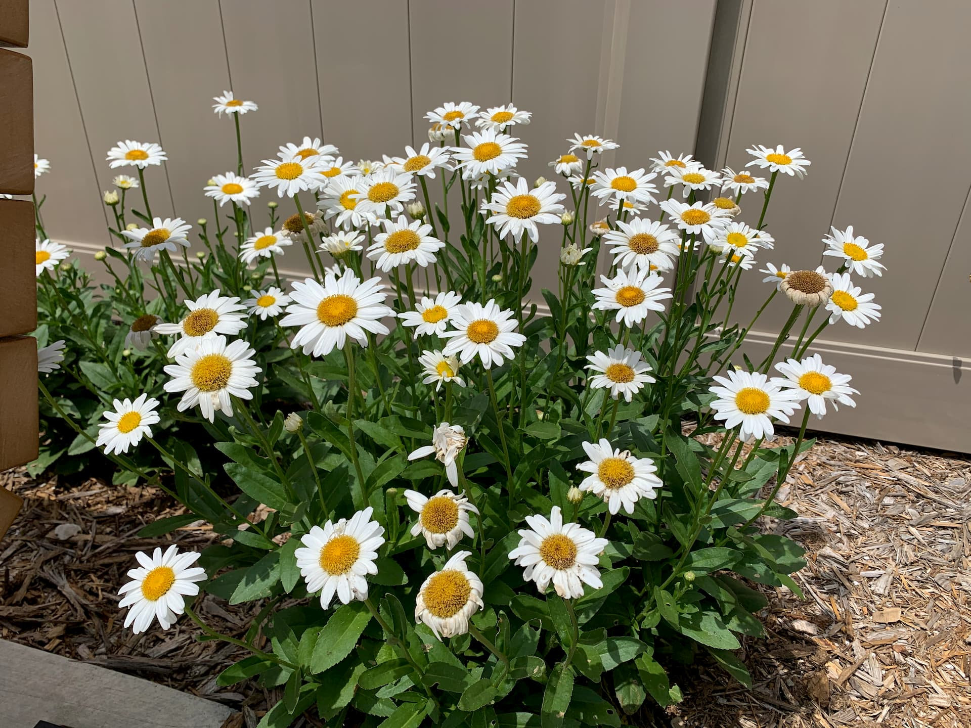 photo of white daisies with yellow centers in Barrick and Kristi Wilson Terrace at newton medical center newton ks