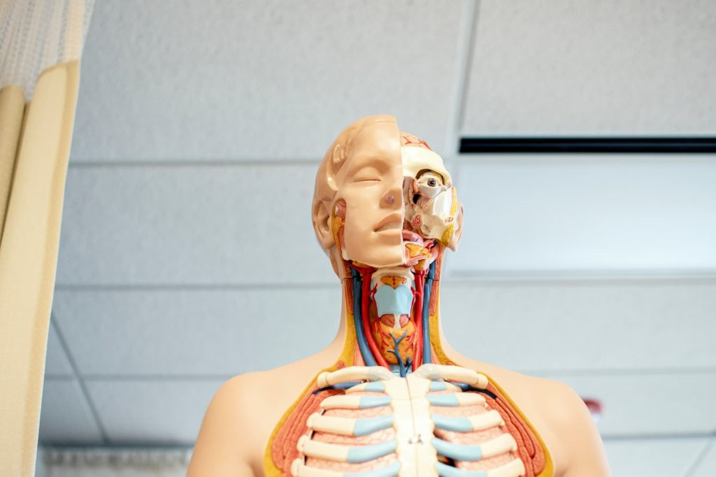 medical mannequin with half face and half muculoskeletal portion exposed for doctor learning medical school