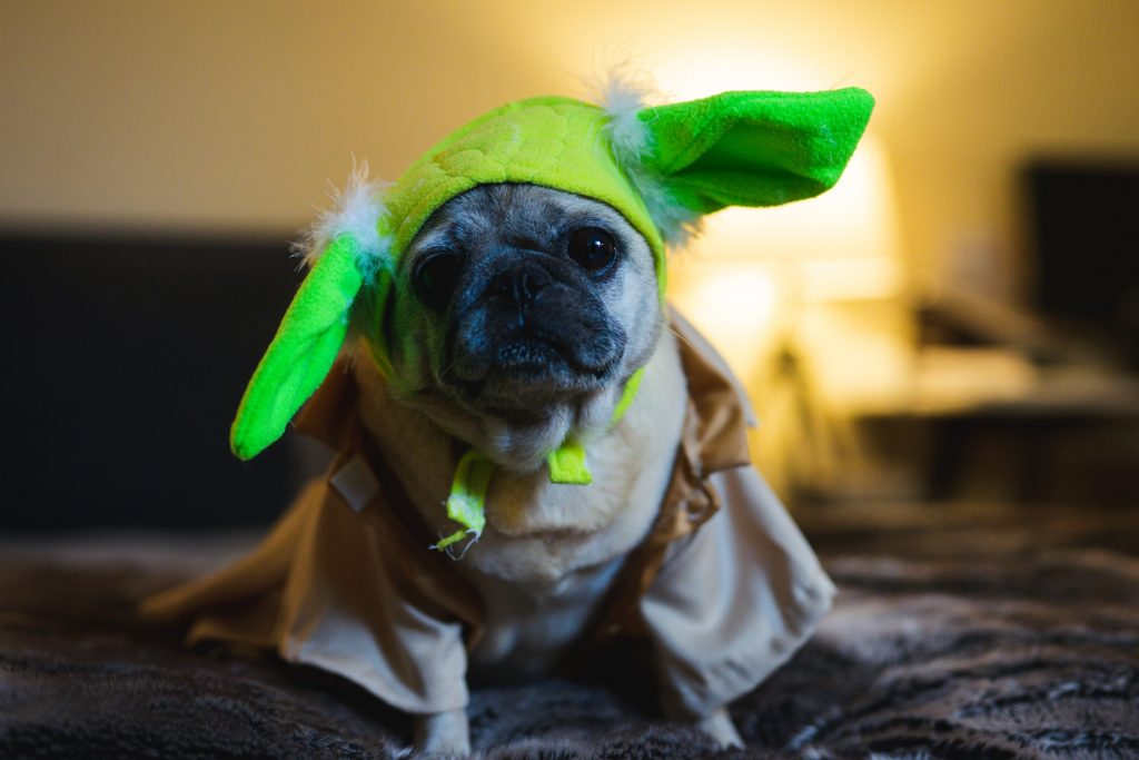 Pug dog in Yoda Halloween costume celebrating holidays during COVID-19 pandemic