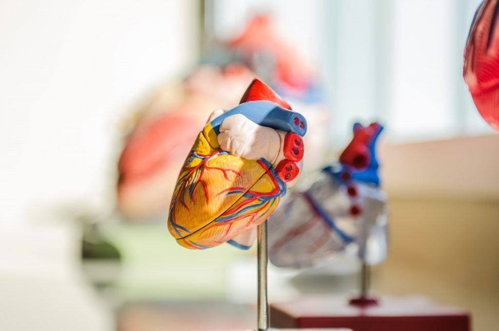 heart model showing arteries, veins, chambers, aorta, valves all color coded